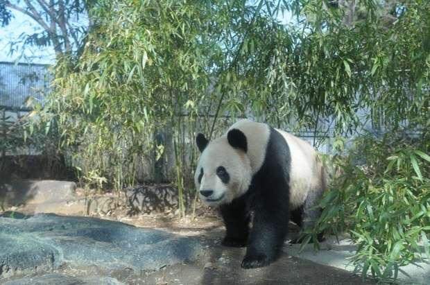 上野動物公園パンダの画像
